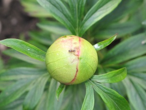 ant on peony bud brookend cottage garden