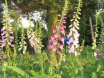 foxgloves in evening sun