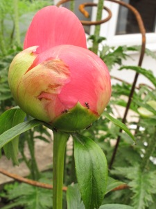 peony bud about to open brookend cottage garden
