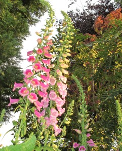 looking up at foxgloves