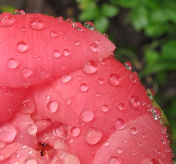 rain coral charm peony opening