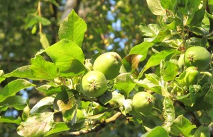 gardening blog apples