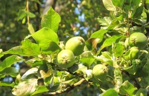 gardening blog apples