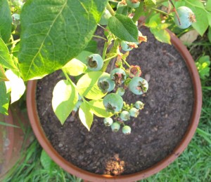gardening blog blueberries