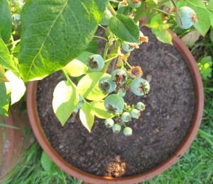 gardening blog blueberries