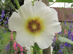 hollyhock gardening blog
