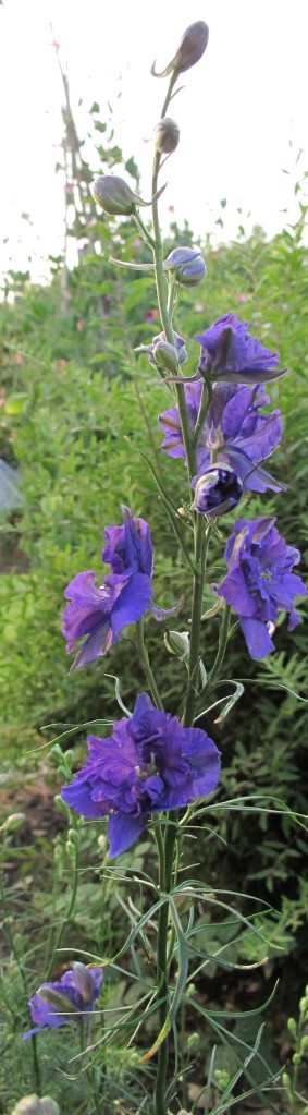 gardening blog larkspur blue (2)
