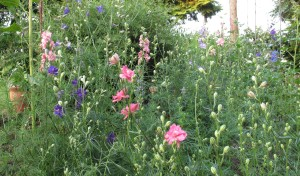 gardening blog larkspur mix (2)