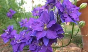 gardening blog larkspur1 (2)