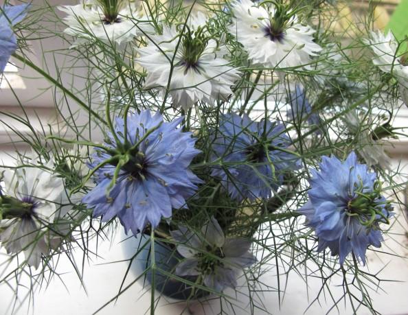 gardening blog nigella