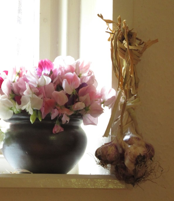 gardening blog sweet peas and garlic