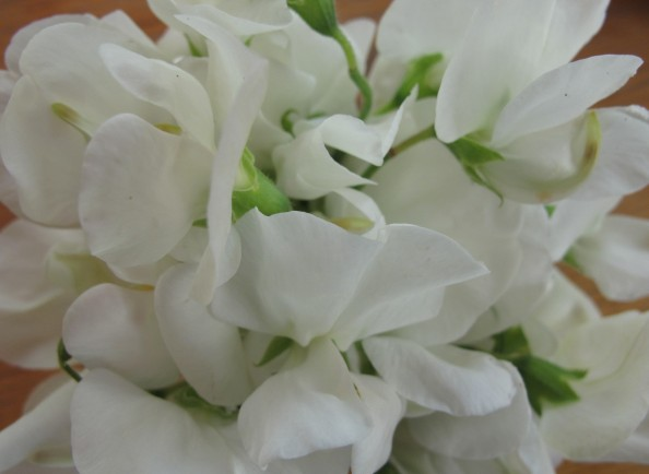 gardening blog white sweet peas