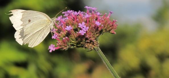 gardening blog verbena butterfly