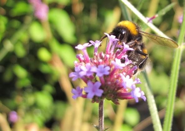 gardening blog verbena bonariensis bee