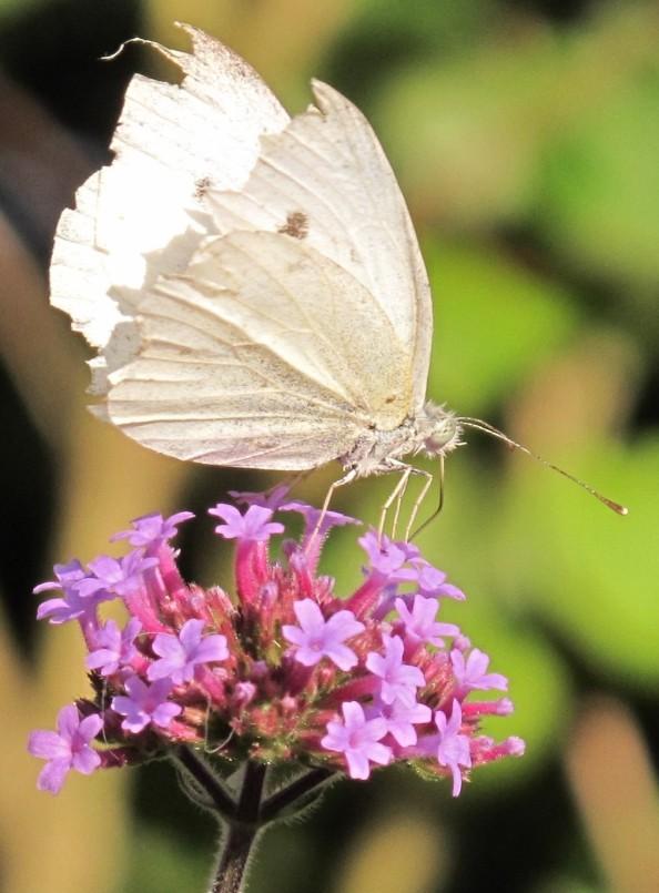 gardening blog verbena butterfly 2