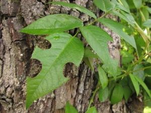 gardening blog leaf cutter bee