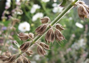 gardening blog salvia seed head