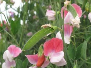 gardening blog sweet peas