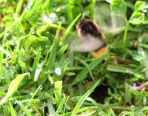 gardening blog ground bee