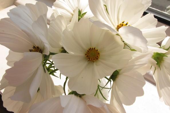 white cosmos gardening blog