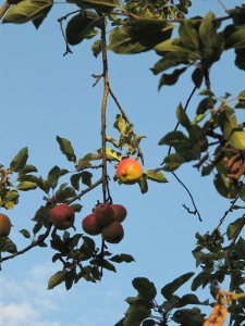 apples gardening blog