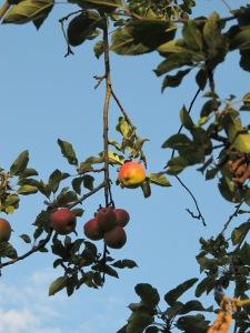apples gardening blog