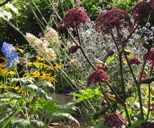angelica gigas gardening blog