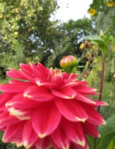 big red dahlia gardening blog
