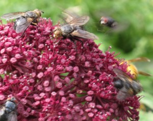 angelica gigas flies gardening blog