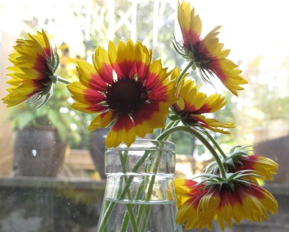 gaillardia gardening blog