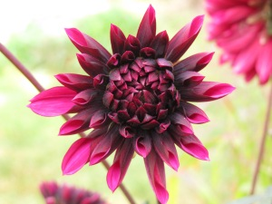purple dahlia gardening blog