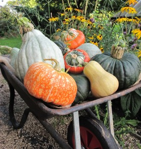 barrow of squash gardening blog