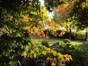 back-lit acer gardening blog