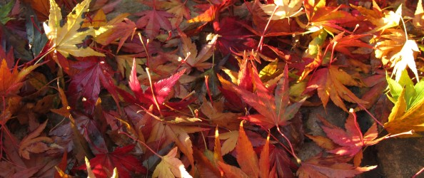 acer leaves on ground gardening blog
