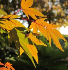 acer yellow gardening blog