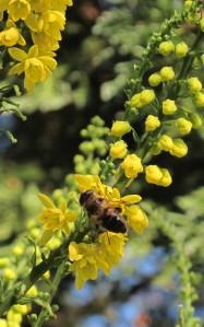 mahonia bee gardening blog