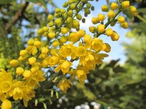 mahonia blue sky gardening blog