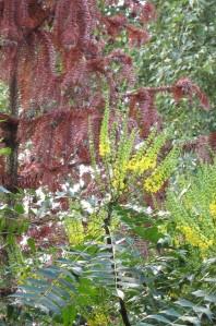 mahonia monkey puzzle gardening blog