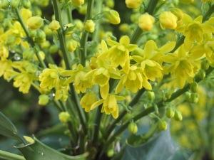 mahonia gardening blog