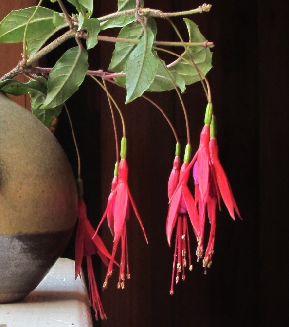red fuchsia gardening blog