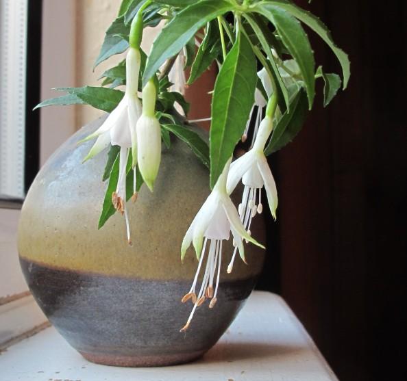 white fuchsia gardening blog