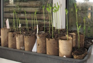 gardening blog sweet pea seedlings