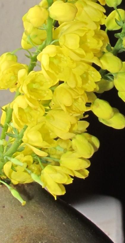 gardening blog mahonia in vase
