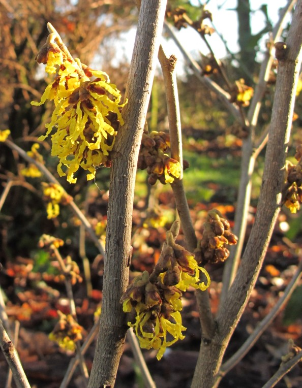 witch hazel, gardening blog