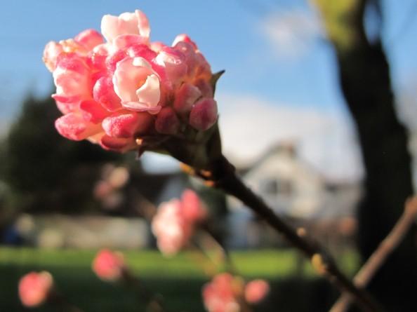 pink dawn vibernum, gardening blog