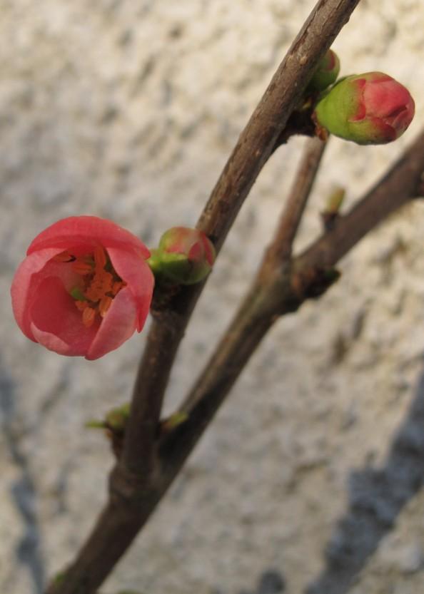 quince blossom, gardening blog
