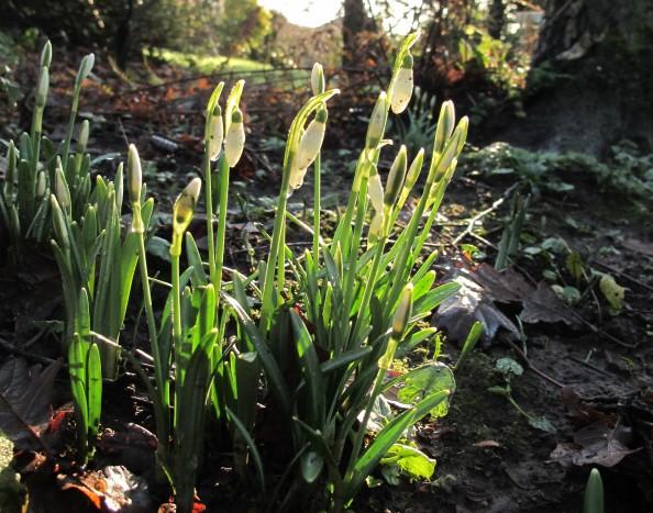 snowdrops, gardening blog
