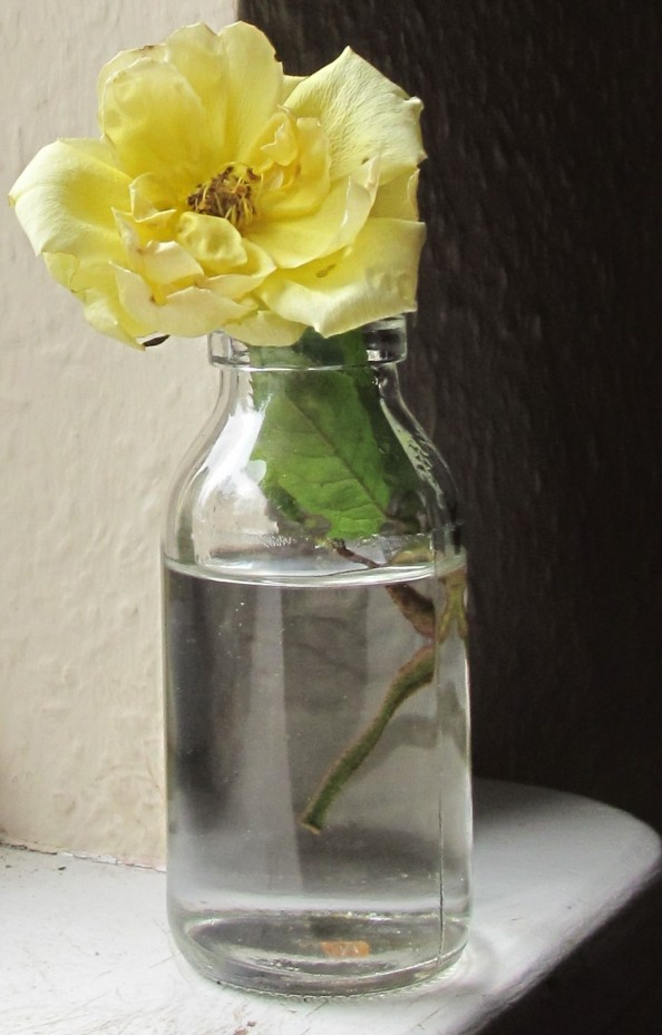 yellow rose, gardening blog, cottage garden, golden showers