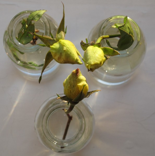 yellow rose buds, gardening blog, cottage garden, golden showers