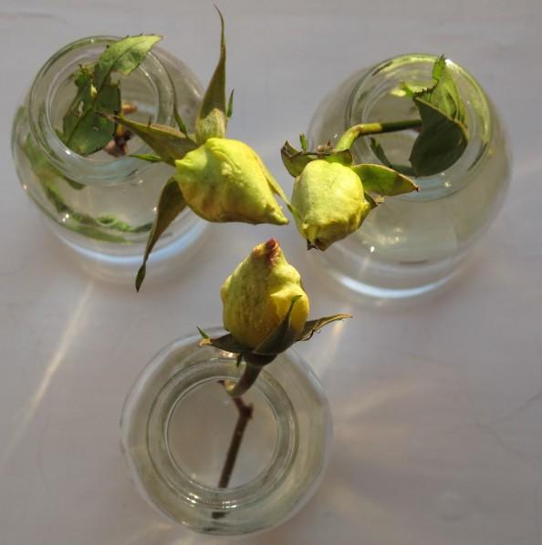 yellow rose buds, gardening blog, cottage garden, golden showers